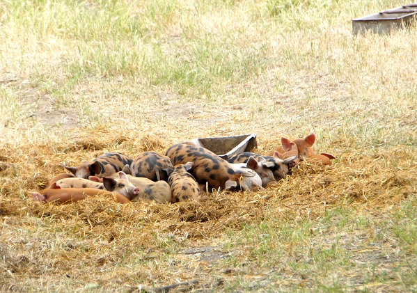 tara firma pigs