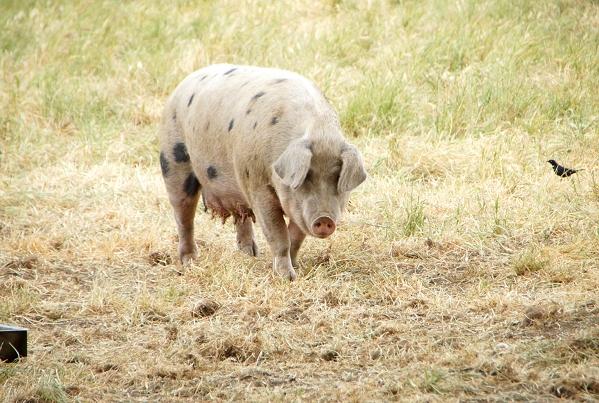 tara firma pig